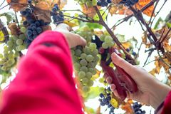 Harvesting grapes in the vineyard. Harvesting grapes in the vineyard stock photo