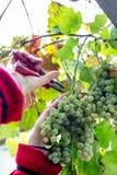 Harvesting grapes in the vineyard. Harvesting grapes in the vineyard stock photography