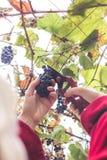 Harvesting grapes in the vineyard. Harvesting grapes in the vineyard stock images
