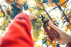 Harvesting grapes in the vineyard. Harvesting grapes in the vineyard stock photos