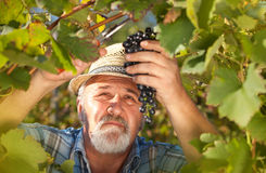 Harvesting Grapes in the Vineyard Royalty Free Stock Photo