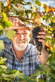 Harvesting Grapes in the Vineyard Stock Photography