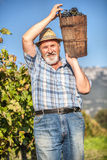 Harvesting Grapes in the Vineyard Royalty Free Stock Image