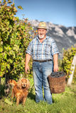 Harvesting Grapes in the Vineyard Royalty Free Stock Images