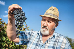 Harvesting Grapes in the Vineyard Stock Image
