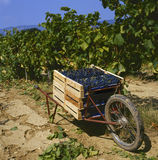 Harvesting the grapes Royalty Free Stock Photo