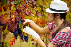 Harvesting grapes Stock Images