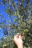 Harvesting Green Olives Royalty Free Stock Photography