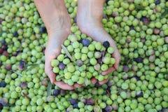 Harvesting Green Olives stock photos