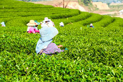 Harvesting green tea Royalty Free Stock Photos