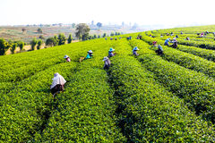 Harvesting green tea Stock Photos