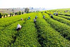 Harvesting green tea. People harvesting green tea bush Stock Photos
