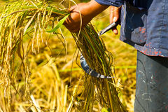 And harvesting by hand. Royalty Free Stock Photos