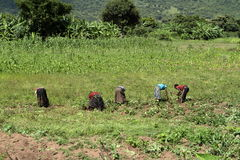 Harvesting helpers on a field in Africa Stock Images