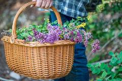 Harvesting herb plants Stock Image
