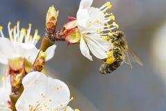 Harvesting Honeybee Royalty Free Stock Photography