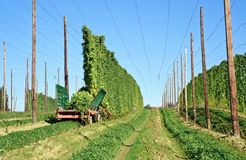 Harvesting Hop Royalty Free Stock Images