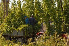 HARVESTING HOPS Royalty Free Stock Image