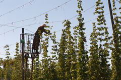 HARVESTING HOPS Royalty Free Stock Photo