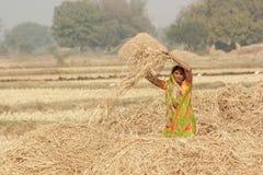 Free Harvesting India. Stock Photo - 55013000