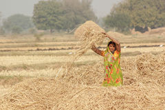 Harvesting India. A woman working in field at the time of harvesting Stock Photo