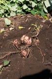 Harvesting Japanese sweet potato called Anno imo. On farm Royalty Free Stock Photo