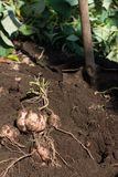 Harvesting Japanese sweet potato called Anno imo. On farm Stock Images