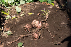 Harvesting Japanese sweet potato called Anno imo. On farm Royalty Free Stock Photography