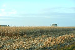 Harvesting a large field of maize in autumn. With a combine harvester just visible behind rows of plants over a foreground of fresh cut stubble Royalty Free Stock Photography