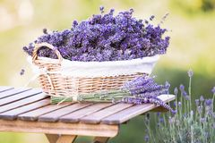Harvesting of lavender. Royalty Free Stock Photography