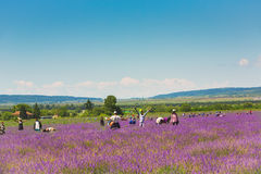 Harvesting of lavender Royalty Free Stock Photos