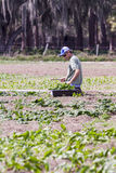 Harvesting lettuce. Man on knees in field harvesting vegetables by hand Stock Photo