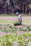 Harvesting lettuce Stock Photo