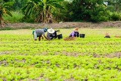 Harvesting lettuce Stock Image
