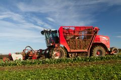 Harvesting and lifting sugar beet in field. Red Vervaet 617 sugarbeet harvester lifting sugar beet harvesting lifting crops in field Stock Photos