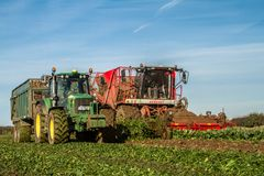 Harvesting and lifting sugar beet in field. Red Vervaet 617 sugarbeet harvester lifting sugar beet harvesting lifting crops in field tipping into trailer Royalty Free Stock Photo