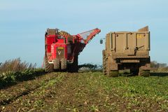 Harvesting and lifting sugar beet in field. Red Vervaet 617 sugarbeet harvester lifting sugar beet harvesting lifting crops in field tipping into trailer Royalty Free Stock Images