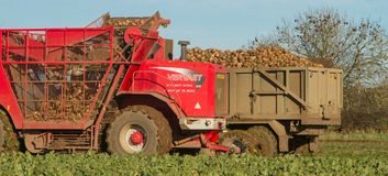 Harvesting and lifting sugar beet in field Royalty Free Stock Images