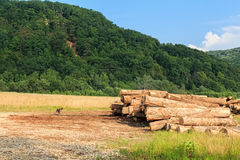 Harvesting lumber logs. Harvesting timber logs in a forest in Russia Stock Photo
