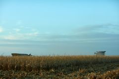Harvesting the maize crop in fall. With an evening view of two combine harvesters on the horizon behind rows of dried corn plants and stubble Royalty Free Stock Photo