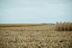 Harvesting maize on a grey cloudy day. With a view over a partly cut field with stubble in the foreground Stock Photo