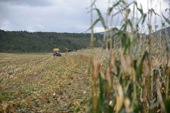 Harvesting maize for silage. Farmers harvest a crop of maize for silage on a dairy farm in Westland, New Zealand Royalty Free Stock Photo