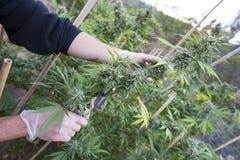 Harvesting medical marijuana. Harvesting by hand flowering marijuana for medicinal purposes, legally grown in California Stock Photography