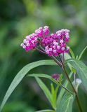 Harvesting the milkweed. A bee harvesting pollen from brightly-colored swamp milkweed royalty free stock photos
