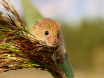 Harvesting Mouse looking from a reed plume Stock Image