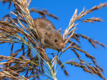 Harvesting Mouse (Micromys minutus) Looking down from Reed Plume. Harvesting Mouse climbing in Reed, it's natural habitat stock photos