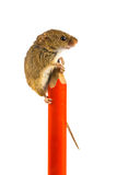 Harvesting mouse (Micromys minutus) on a school pen Stock Photos