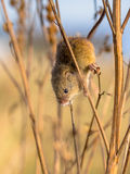Harvesting mouse in plant. Harvesting mouse (Micromys minutus) with prehensile tail climbing in plant in natural outdoor habitat Stock Photography