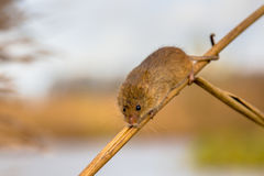 Harvesting mouse on reed stick. Harvesting mouse (Micromys minutus) with prehensile tail climbing in reed (Phragmites australis) in natural outdoor habitat Stock Photography