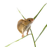 Harvesting mouse on white Royalty Free Stock Photo